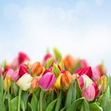 Fototapety tulips in garden