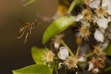 A wasp flying to pear flowers