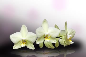 Белые орхидеи изолированно на черно-белом фоне