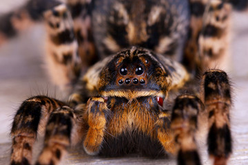 Macro photo shot  of tarantula spider