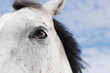 weißer Pferdekopf