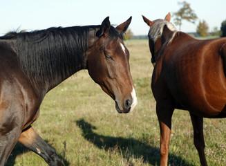 zwei braune Pferde