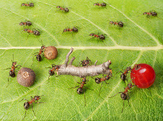 dividing line and cargo traffic at ants work path, teamwork