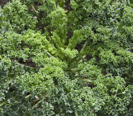 Organic green kale growing in a farm