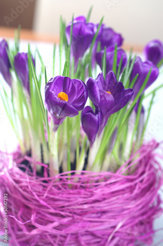 Blooming crocuses - interior decoration