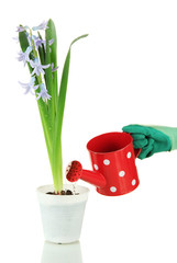 Beautiful hyacinth in flowerpot and gardener's hand (conceptual
