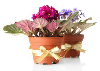 Bright saintpaulias in flowerpots, isolated on white