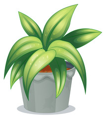 A plant with elongated leaves