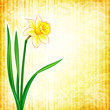 Flower background - narcissus
