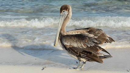 Pelican on the beach. Tulum, Mexico.