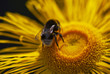 Close up of bumble-bee landing on a yellow daisy