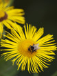 Little bee pollinate a yellow daisy
