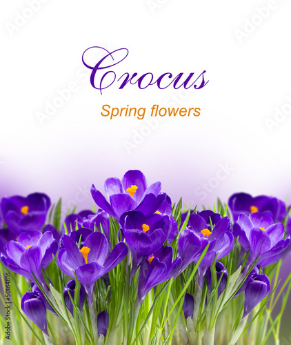 Early spring flower Crocus for Easter