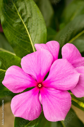 Vinca flower in gargen