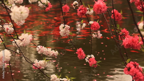 Blossoming cherry with goldfishes. Hangzhou.