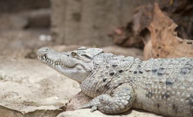 Philippine Crocodile Crocodylus Mindorensis