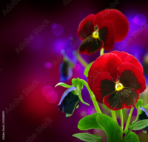 Spring Flowers Pansy over Black