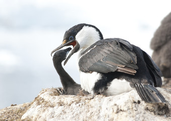 Antarctic blue-eyed moment feeding cormorant chicks.