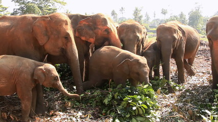 Elephants eat leaves. The Elephant Orphanage at Pinnawela.