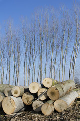 Poplars cut and stacked