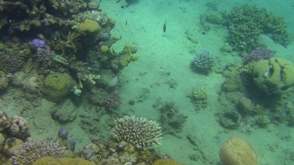 A very rare torpedo swimming in red sea
