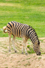 The portrait of strange Zebra  eating grass