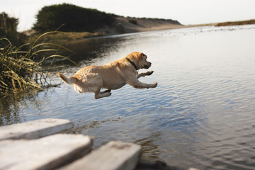 Labrador jumping into river