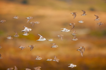 Flock of sanderlings flying through the air