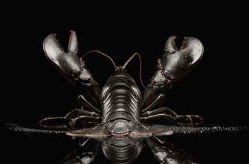 Close up of black lobster