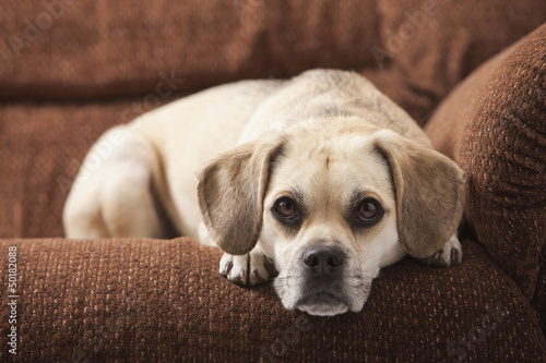 Dog laying on sofa