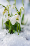 Fototapety Schneeglöckchen - Snowdrop flowers