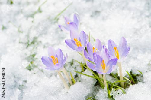 Fotobehang Krokus Krokusse im Schnee