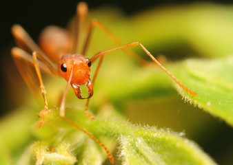 Red Ant stand on leaf