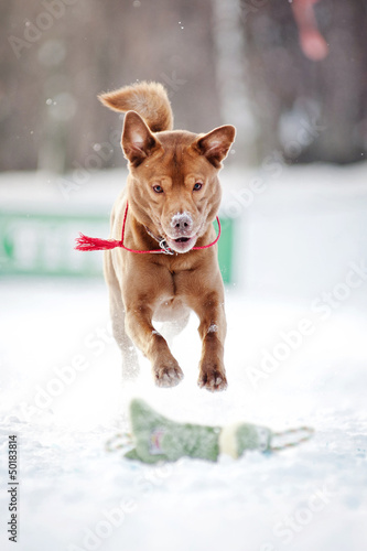 Brown dog running in winter