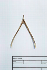 Wishbone on graph paper
