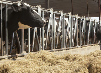 Cows on dairy farm