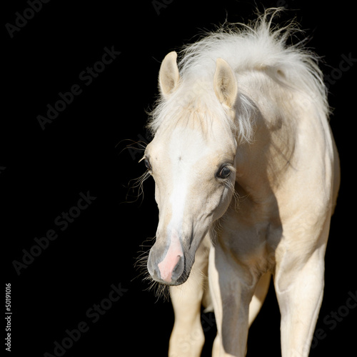 Newborn horse baby, Welsh pony foal isolated on black