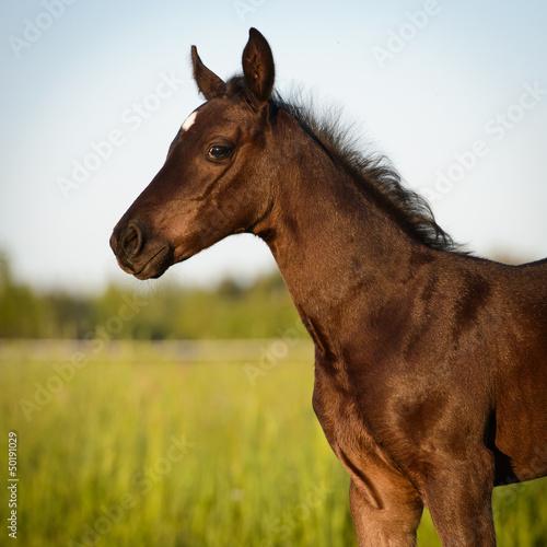 Newborn horse baby, Welsh pony foal