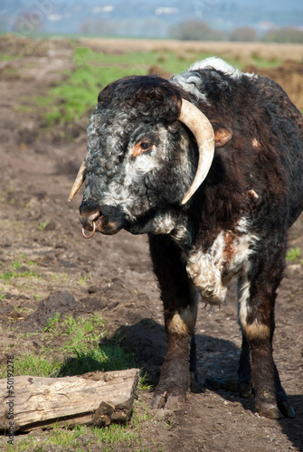 English Long Horn Cattle on the Somerset Levels