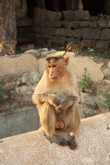 Monkey in Hanuman Temple, Hampi, India.