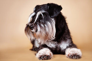 schnauzer dog portrait laying down