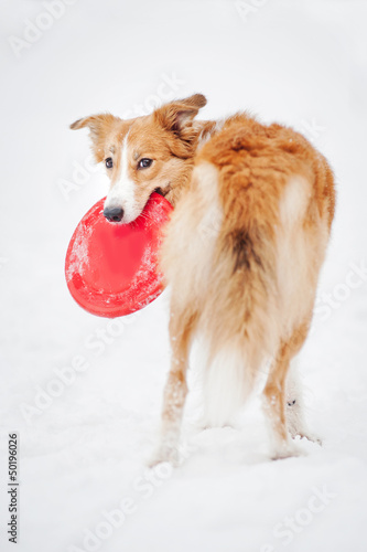 border collie holding toy and looking at camera