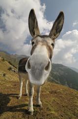 funny donkey, Equus africanus asinus