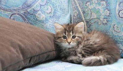 Gattina siberiana sul divano