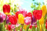 Fototapety Fresh tulips in warm sunlight