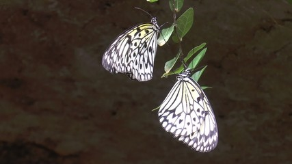 couple de papillons