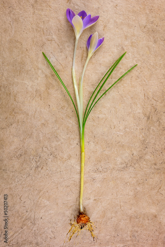 Young crocus flower on a vintage background