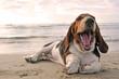 Fototapeten,hund,basset hound,gähnend,welpe
