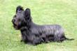 Funny Skye Terrier