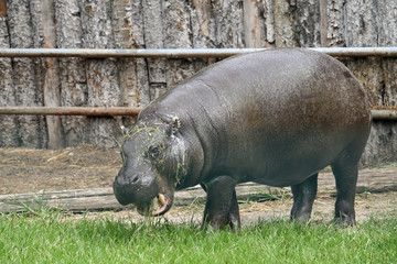 fat massive Hippo in a pond of a zoo